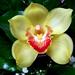 Album - Orchidea
