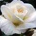 Szépséges rózsák