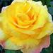 Rózsáim 240