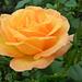 Rózsáim 1621