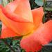 Rózsáim 1824