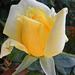 Rózsáim 1724