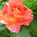 Rózsáim 3506