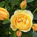 Rózsáim 3593