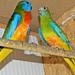 Ékes papagájok,legújabb szerzeményeim 1222