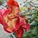 Őszi rózsák 1689