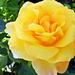 Rózsáim 0963