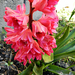 Telt virágú jácint 2181