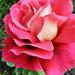 Rózsáim 4007