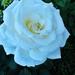 Rózsáim 4073
