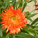 Virág 5480