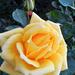 Rózsáim 6960