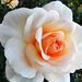 Rózsáim 6954