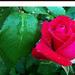 Rózsáim 7470