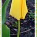 Tulipán 8592