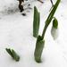 Hóvirág 7165