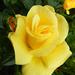 Rózsáim 9220