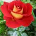 Rózsáim 9259