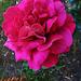 Rózsáim 9911
