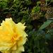 Rózsáim 9962