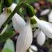 Hóvirágok 0337