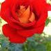 Rózsáim 0564