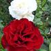Rózsáim 1060