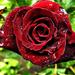 Rózsáim 0684