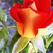 Rózsáim 1201