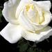 Rózsáim 0577