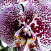 Orhidea 1675