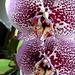 Orhidea 1674