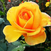 Rózsáim 1816
