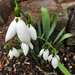 Hóvirág 1778