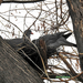 Örvös galambok 1882