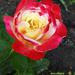 Rózsáim 2170