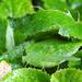 Zöld lombszöcske 2290