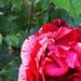 Rózsáim 2060