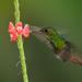 Rufous-tailed-Hummingbird26