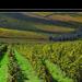szőlő amerre látsz