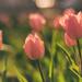 Tulipános
