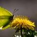 Az első pillangó