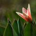 Az első tulipánBB