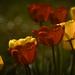 Remény Tulipán