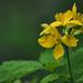 Kata virága