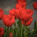 Piros tulipánokBB