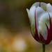 Az utolsó tulipán idén