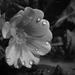 Esőcseppek a virágonFF