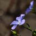 Egy szál lenvirág
