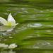 Virágszirom a vízenBB